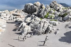 风景和海滩在BettyÂ的海湾与逗人喜爱的公驴企鹅在开普敦,南非附近 库存照片