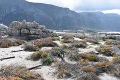 风景和海滩在BettyÂ的海湾与逗人喜爱的公驴企鹅在开普敦,南非附近 免版税图库摄影