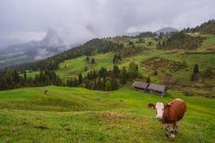 风景在有吃草的母牛阿尔卑斯 免版税库存照片