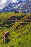 风景在有吃草的母牛阿尔卑斯 免版税库存图片