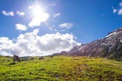 风景在有吃草的母牛阿尔卑斯 图库摄影