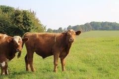 风景多云母牛的域 图库摄影