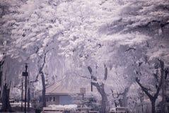 风景庭院树和草(红外照片) 免版税库存照片