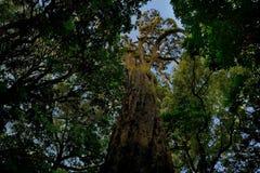 风景新西兰-原始绿色森林在新西兰,树蕨,贝壳杉, rimu 免版税库存图片