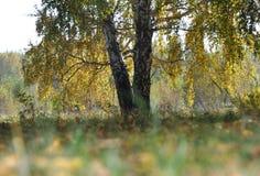 风景早期的秋天 与黄色和绿色叶子的大蔓延的桦树在草和leav前的背景秋天森林 免版税图库摄影