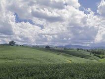 风景有戏曲云彩的茶农场 免版税库存图片