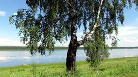 风景桦树海滩河 股票视频