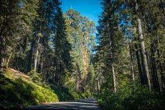 风景森林高速公路在美洲杉国家公园 免版税图库摄影