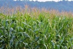 风景玉米种植园领域图象视图  图库摄影