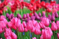 风景的春天-五颜六色的郁金香庭院在春天背景中 库存图片