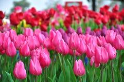 风景的春天-五颜六色的郁金香庭院在春天背景中 库存照片