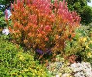 风景红色和橙色布什在绿色庭院里 免版税库存图片