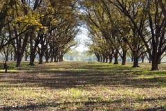 风景胡桃树丛行 库存图片