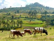 风景自然。牧场地。母牛吃草。 免版税库存照片