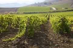风景葡萄园在西西里岛 免版税库存照片