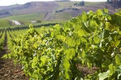 风景葡萄园在西西里岛 免版税图库摄影