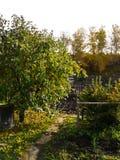 风景西伯利亚苹果树 图库摄影