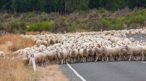 风景观点的新西兰绵羊 库存图片