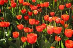 风景观点的新鲜的开花的郁金香 免版税库存图片