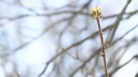 风景观点的树芽体 春天,开花概念 股票录像