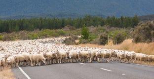 风景观点的绵羊在新西兰 免版税库存照片
