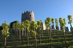 风景露台的葡萄 免版税库存照片