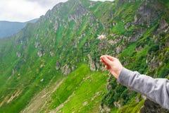 风景,旅行,旅游业 一只女性手拿着一朵花以山为背景 水平的框架 库存照片
