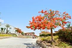 风景,植被,与红色开花的花的Delonix皇家树,与绿色的棕榈树在一种热带手段离开反对bl 库存图片