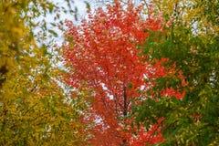 风景,美好的生动的五颜六色的秋天分支三个明亮的颜色,红色,黄色,在天空背景的绿色树  免版税库存照片
