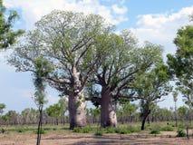 风景,自然。澳大利亚。猴面包树。 图库摄影
