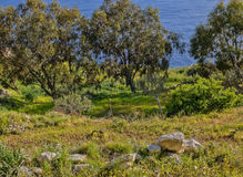 风景;与地中海的树在背景中被采取在Fawwara,马耳他 免版税库存图片