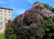 风景 春天在城市 淡紫色灌木 免版税库存照片