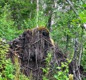 风景 树击倒的风暴的根 免版税库存图片