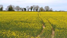 风景黄色油菜籽领域 库存图片