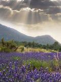 风景Lavander领域 开花lavander花 太阳光芒通过云彩 风险轻率冒险日落时间 免版税图库摄影