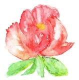 风格化牡丹花的水彩例证 花的彩色插图在水彩绘画的 免版税库存照片