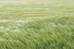 风的玉米田 免版税库存照片