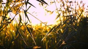 风的草原在日落时间 股票视频
