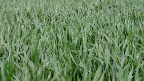 风的绿色年轻麦子植物 股票录像