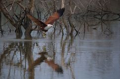 风筝从河的被抓的鱼 库存图片