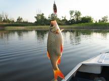 风行匙子诱饵共同的rudd 被捉住的鱼 在河的背景的一共同的rudd 免版税图库摄影