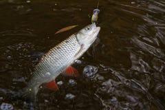 风行塑料诱饵淡水鳔形鱼 库存照片