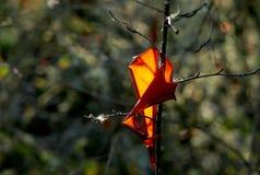 风行枝杈明亮的橙色杨梅吠声 免版税库存图片