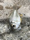 风行橡胶诱剂玻璃鱼 图库摄影