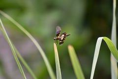 风行的蜻蜓飞行草 免版税库存照片