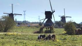 风车在有吃草在绿色草甸的母牛的荷兰 影视素材