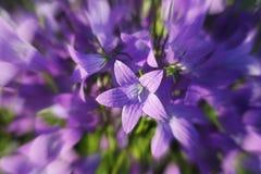 风轮草patula传播的风铃草花在绽放的在草甸 免版税库存图片
