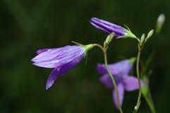 风轮草rotundifolia 免版税库存照片