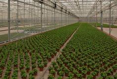 风铃草中国荷兰语苗圃植物 图库摄影