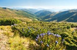 风铃草在喀尔巴阡山脉的山坡开花 库存图片
